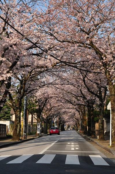 西海子通りの桜並木