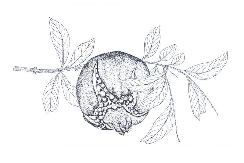 花材「ざくろ」のイラスト