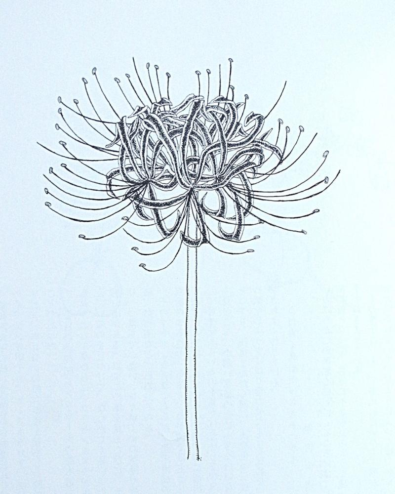 写真2 植物図例 ひがんばな