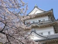 桜と小田原城天守閣