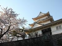小田原城天守閣と桜