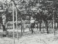 初秋に収穫する足柄梨