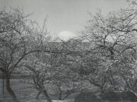梅の収穫を待つ曽我の梅林