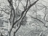 梅の枝のせん定作業