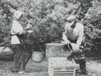 梅の実の収穫作業