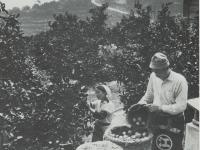 江之浦のみかん収穫