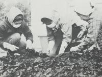 養殖ワカメの出荷準備