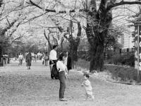 城内小横桜並木