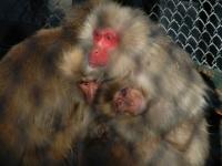 城址公園の猿