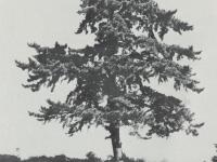 市の木「くろまつ」
