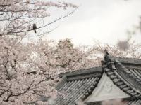 お堀端の桜