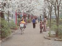 小田原の桜