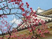 小田原城のカンヒザクラ