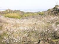 梅林(辻村植物公園)_H23