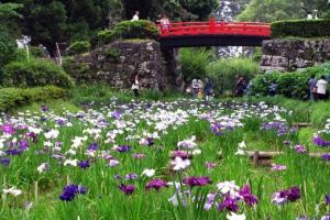 城址公園の花菖蒲とあじさい