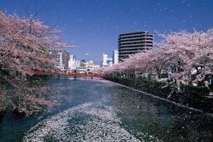 令和3年(2021年)小田原の桜開花状況