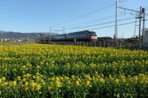 東栢山の菜の花