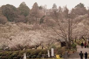 辻村植物公園の梅(2月)