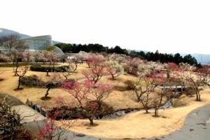 小田原フラワーガーデン渓流の梅林(1月から3月)
