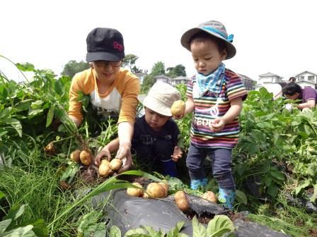 ジャガイモの収穫体験・詰め放題(別途料金)