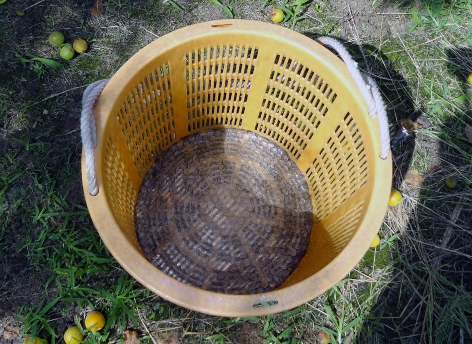 クッションを敷いた収穫カゴ