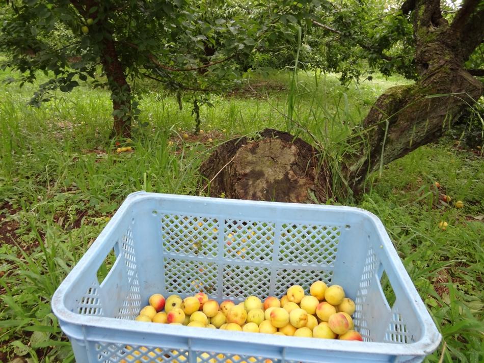 収穫された梅