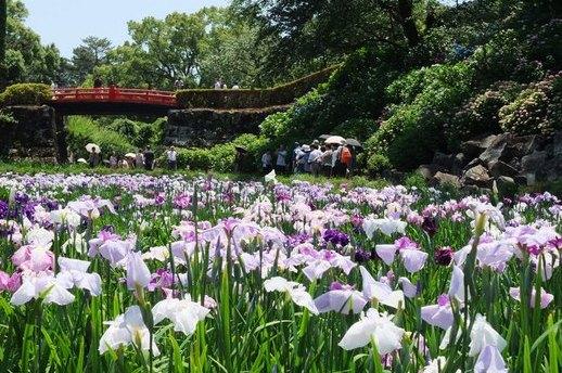城址公園の花菖蒲