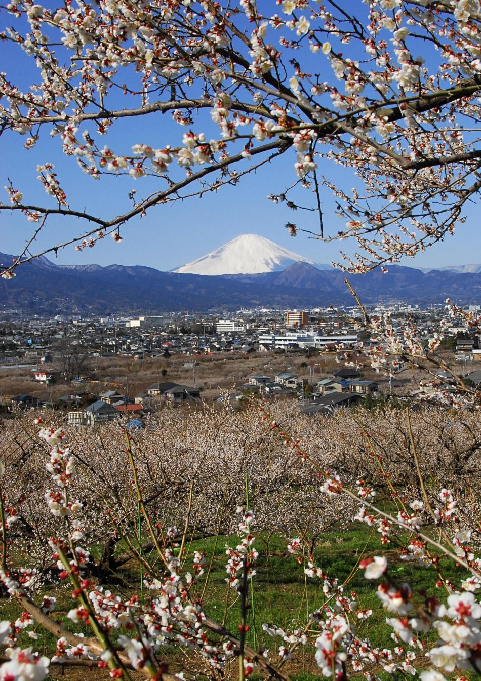 小田原城址公園桜画像