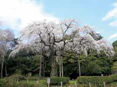 쵸코잔 수양벚나무