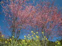 네부카와의 오카메자쿠라(벚꽃)