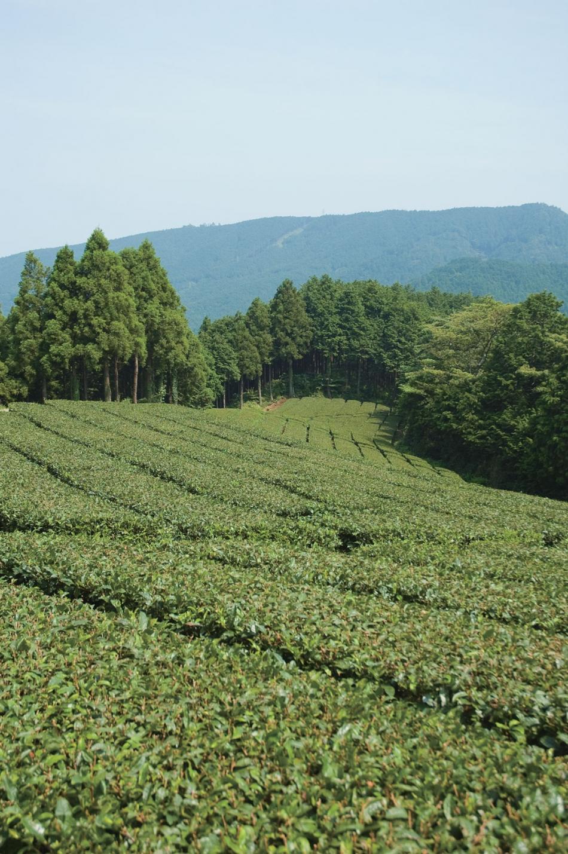 和留沢の茶畑