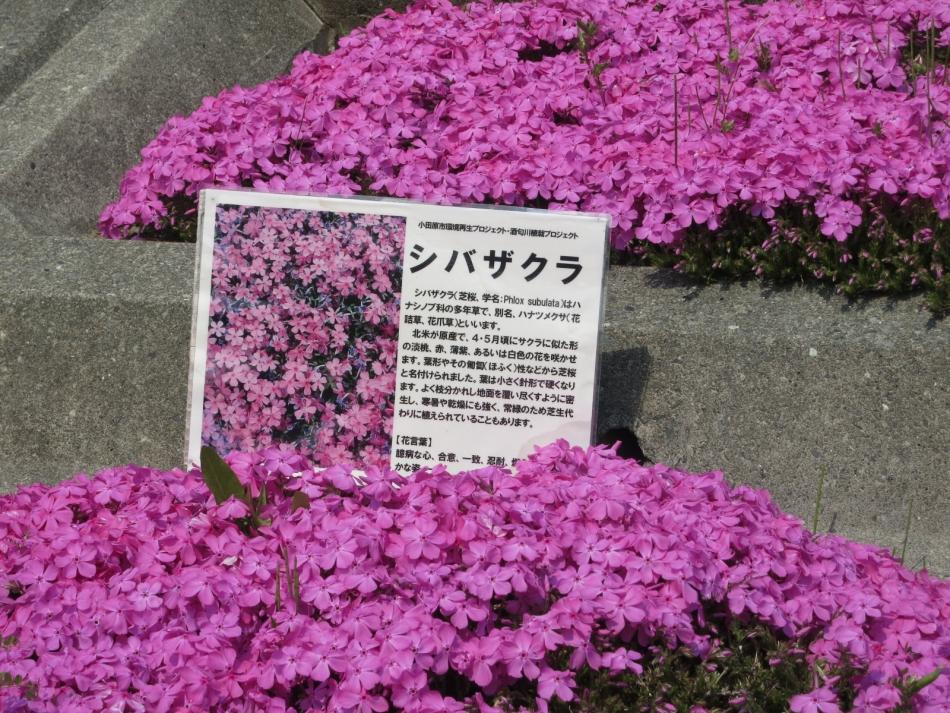 芝桜の開花した様子