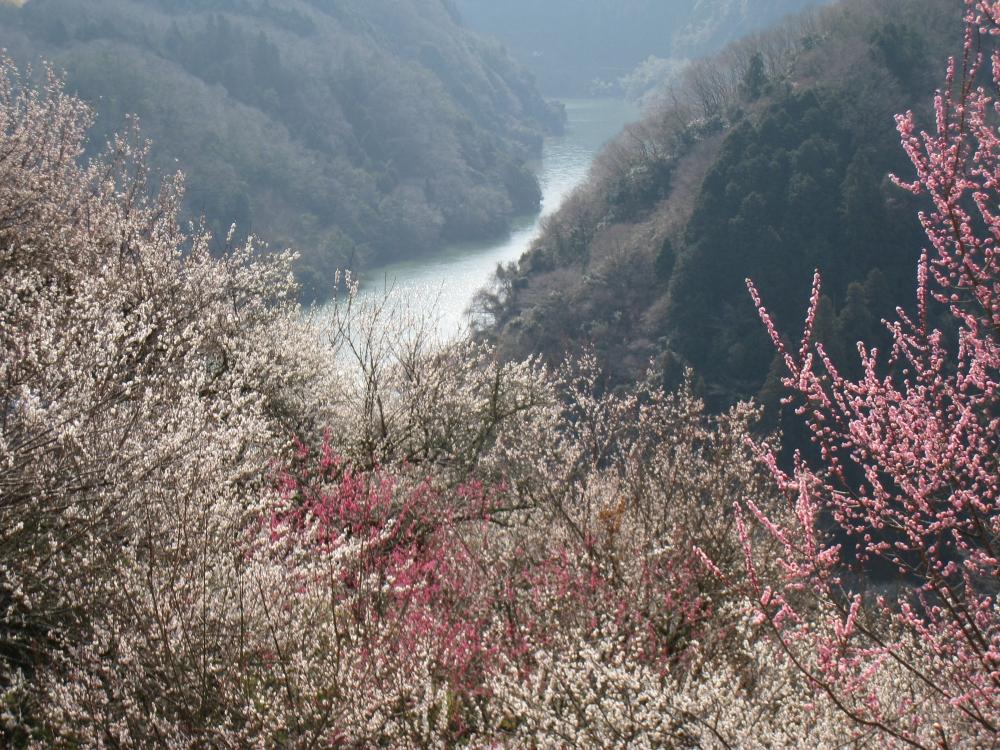 梅林から望む月ヶ瀬渓谷