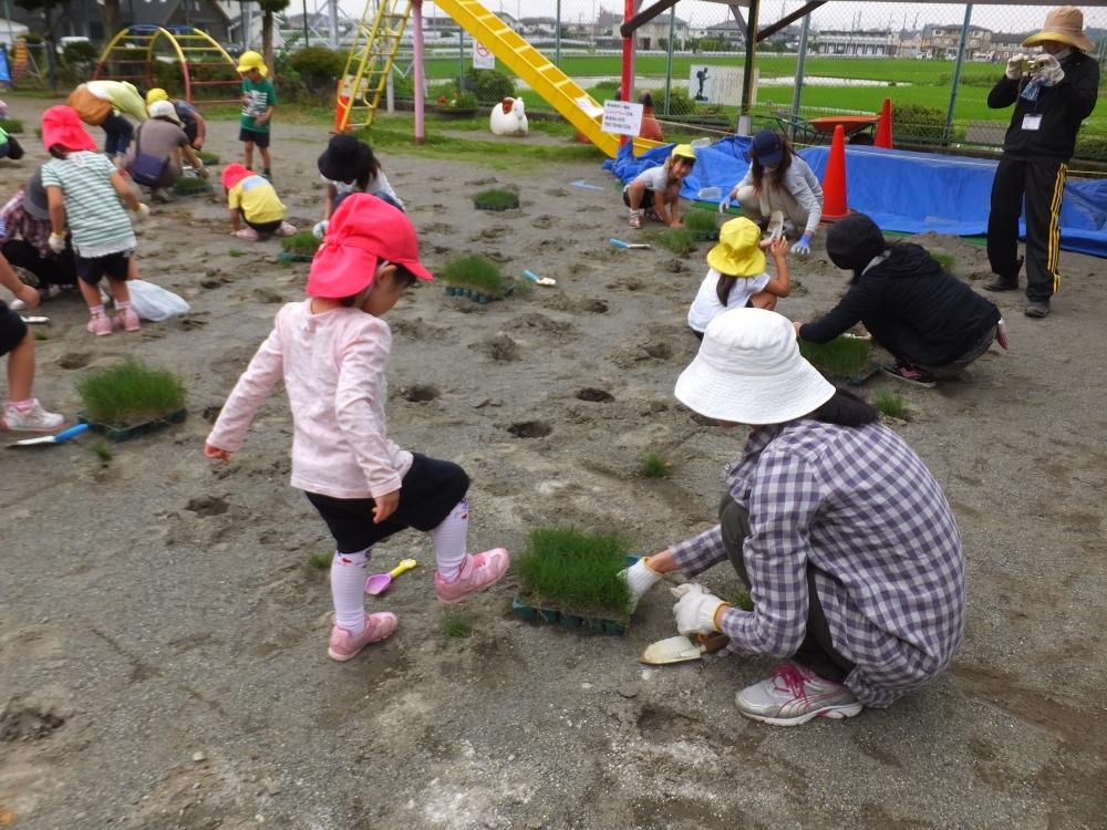 芝生が根付くようにふみつける