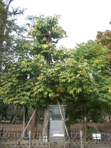 被爆樹木「アオギリ」の画像
