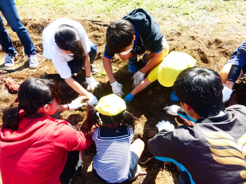 中学生との交流でサツマイモ堀りに参加する園児たち