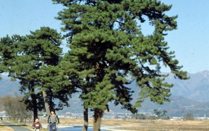 市の木(くろまつ)