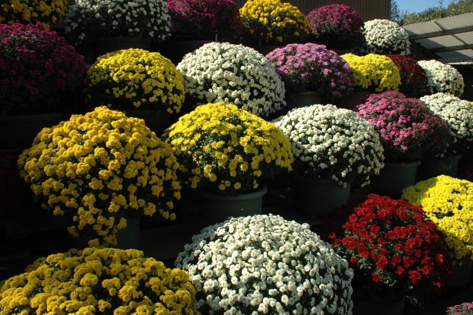 ざる菊園の写真
