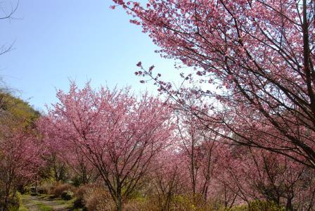根府川のおかめ桜
