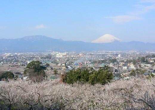 国府津・曽我丘陵から見た梅林画像