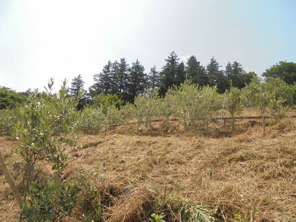 矢郷農園のオリーブ畑