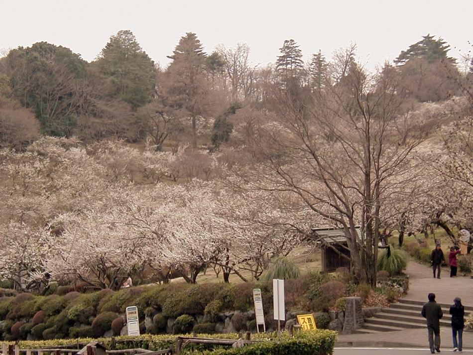 辻村植物公園の梅写真