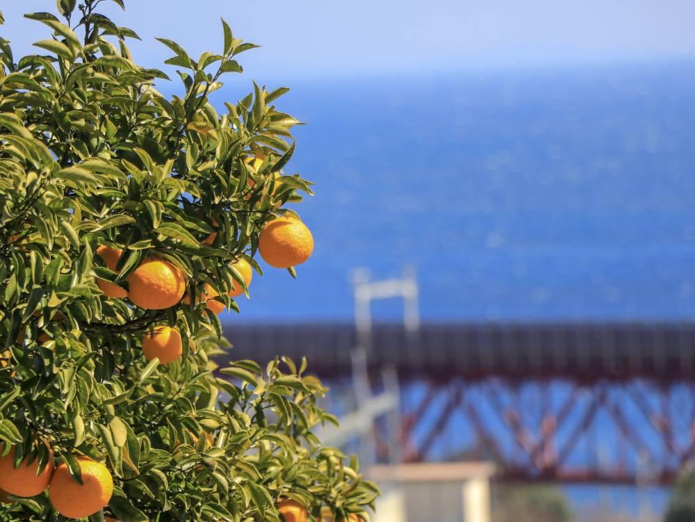6.柑橘と白糸川鉄橋