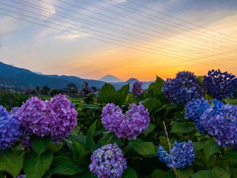 8.紫陽花と富士山