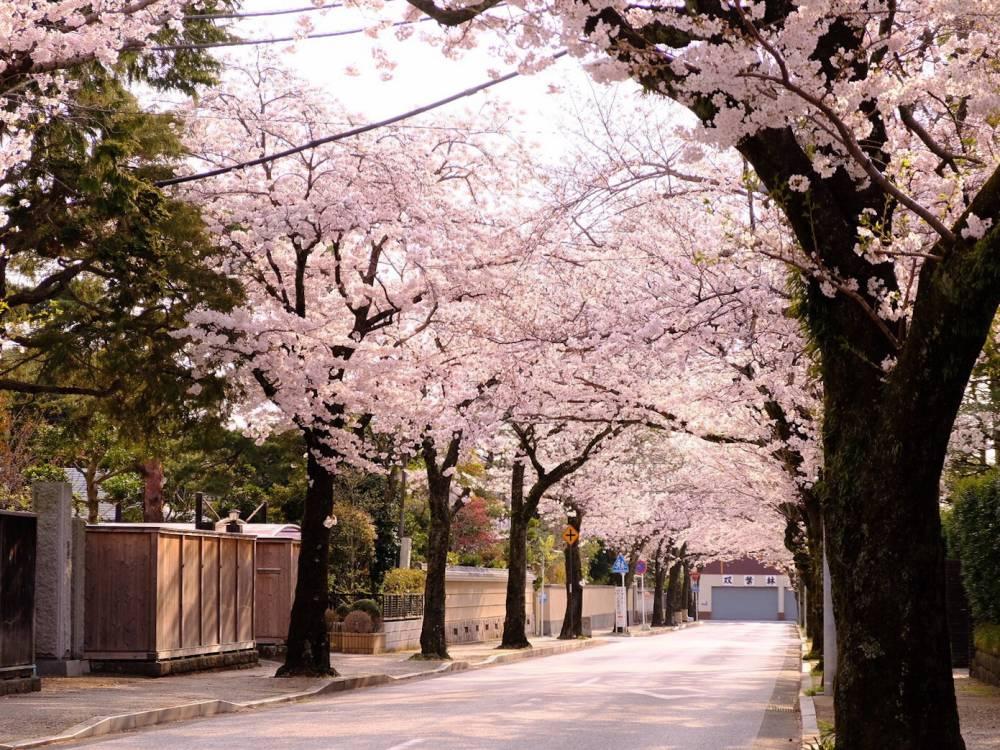 11.西海子小路と桜