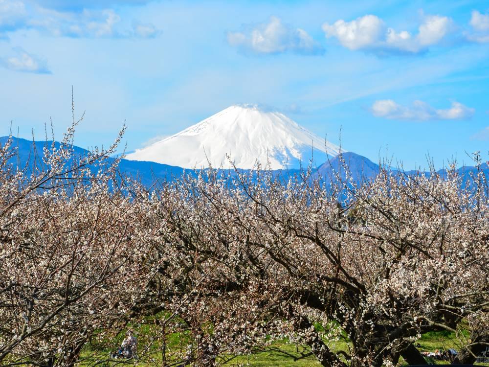 12.曽我梅林と富士山