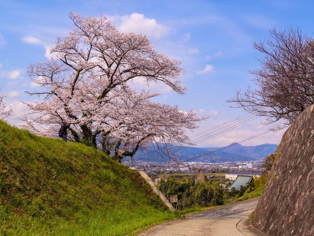 14.中河原配水池と一本桜