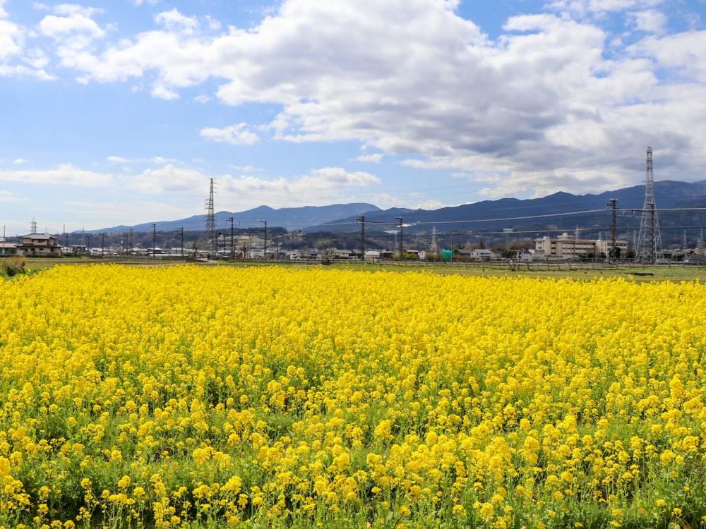 15.東栢山と菜の花