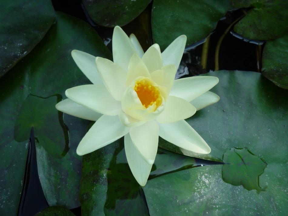 季節になると、池いっぱいに水連が咲きます